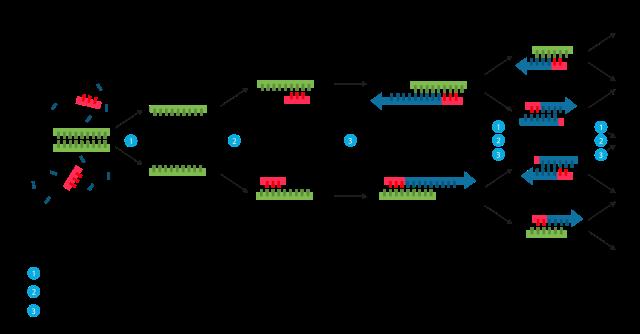 Die Phasen der PCR-Reaktion