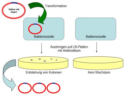 Transformation eines Plasmids in eine Bakterienzelle